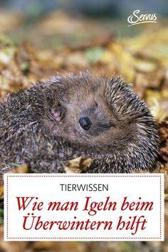 6 Ideen, wo sich unsere stacheligen Freunde im Winter einigeln können. Plus: Tipps, wie Sie Igeln in Not helfen. #igel #igelnhelfen #igelschützen #garten #gartentipp #gartentipps #gartenarbeiten #natur #gartenliebe #gartengestaltung #natur #gartenfreude #gartenpflege #meingartenreich #naturgarten #gartenideen #gartenidee #servus #servusmagazin #servusinstadtundland Animals, Potted Plants, Yard Maintenance, Natural Garden, Dog Food, Animal Welfare, Wild Animals, Animales, Animaux
