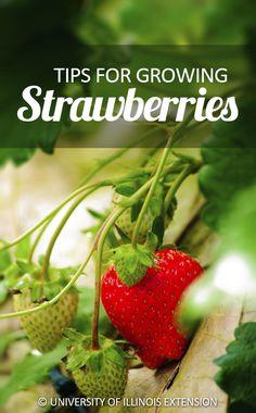 Tips for Growing Strawberries #garden #fruit