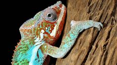 Chameleon - colour changes more like a mood ring, less like a fatigue jacket