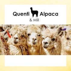 Alpaca Facts for kids: Alpacas have really strong herding instincts. The best way to keep an alpaca with a companion is to have them all be the same gender. This is because even neutered alpacas or llamas can sometimes successfully bond with each other. Alpaca Facts, Facts For Kids, Alpacas, Camel, Hospitals, 15 Years, Retirement, Dogs, Gender