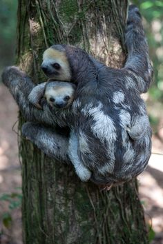 Mom and baby sloths just hanging around for  #HappyMothersDay