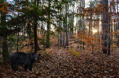 November Forest of the Black Bear