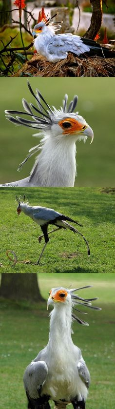 I love secretary birds <3 Named after their head feathers, which resemble quills. They run like raptors ^_^