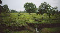 tea field // alec vanderboom