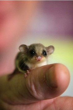 Is that a huge thumb or a tiny mouse? Neither! This little rascal is a feathertail glider.