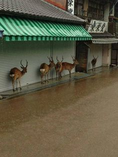 deer in Nara, Japan taking shelter from the rain