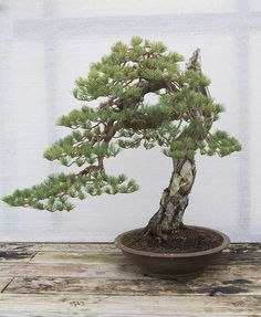 The Ginko Bonsai Centre in Laarne, Belgium is just incredible. Hundreds and hundreds of trees as shown. Danny Use has a great treasure there...