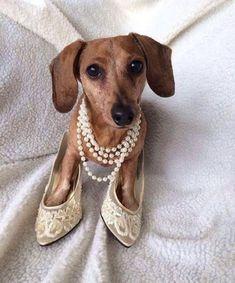 .dachshund♡. #DachshundWorld