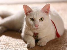 Twitter / nekozamuraiinfo: 原案+プロデュースした永森です。「今回は時代劇にしよう」と言い出したせいでたくさんの人にご苦労をかけましたが、たくさんの人が喜んでくれているようで、ほっとしています。 #猫侍 Neko, Domestic Cat, Samurai, Kittens, Cats, Animaux, Kitty Cats, Kitten, Baby Cats