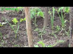 Jak sadzić pomidory? Prawidłowe sadzenie pomidorów - YouTube