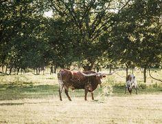 Texas Longhorn Print, Longhorn Photo, Horse Photography, Landscape Photo, Animals, Longhorns, Fine Art, Landscape Print, Texas Western Decor Landscape Prints, Landscape Photos, Landscape Photography, Texas Western, Western Decor, Texas Photography, Horse Photography, Animal 2, Texas Longhorns