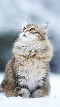cat_snow_sitting_furry