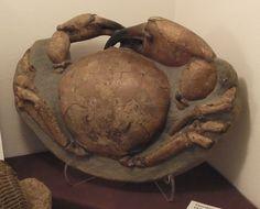 Tumidocarcinus Gigantus Giant Miocene Crab