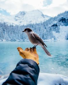 The locals are pretty friendly in BC. Photo taken at Joffre Lakes by by hellobc Lake Photography, Landscape Photography, Travel Photography, Types Of Species, Joffre Lake, Canadian Wildlife, Christmas Time Is Here, What A Wonderful World, Whistler