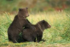 A pair of grizzly bear cubs play in the long grass. Image: Steven Kazlowski/Barcroft Media