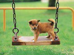 Funny Shiba Inu Puppies Wallpaper 4