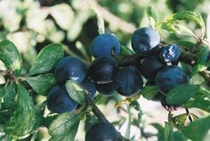 Sloes, all ripe for gin. (Unfortunately, all drunk by now). Sloe Berries, Cottages, Gin, Fruit, Nature, Lodges, Cottage, Cabins, Jeans
