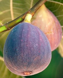The Fig harvest season is in full swing, and this is great news because the sweet rich flavor of figs, combined with their soft pulp and crunchy seeds make