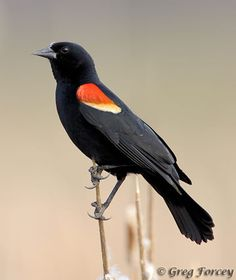 Saw several of these while walking in the Carlisle Reservation earlier today - the Red-Winged Blackbird. :)