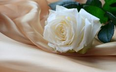 desktop-hd-images-of-roses-with-white-background.jpg 2,560×1,600 pixels