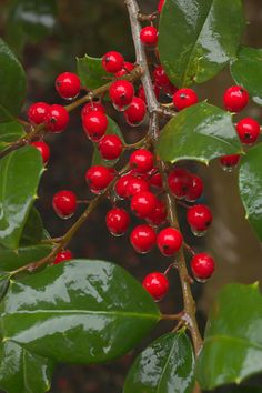 Holly berries~ I was going to plant Holly in 2013...