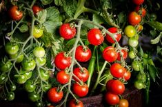Doing some organic gardening is ideal and these tomatoes gardening tips are some of the best you will come across. Growing tomatoes in pots is ideal if you are suffering from limited garden space. If you are into the hobby of home gardening or Fast Growing Vegetables, Growing Tomatoes Indoors, Growing Tomatoes In Containers, Planting Vegetables, Grow Tomatoes, Baby Tomatoes, Varieties Of Tomatoes, Plum Tomatoes, Growing Plants