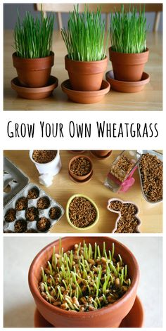 How to Grow Your Own Wheatgrass, perfect for Spring!