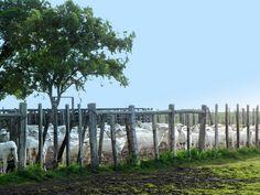 La esquila. Las ovejas esquiladas en el corral, prontitas para volver al campo