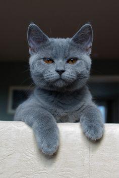 (ᵔᴥᵔ)russian blue cat Cat kitten adorable gorgeous love