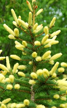 Klehm's Song Sparrow Farm and Nursery--Woody Plants--Picea pungens 'Golden Feathers' Garden Shrubs, Garden Trees, Garden Plants, Bonsai Plants, Trees And Shrubs, Trees To Plant, Outdoor Plants, Outdoor Gardens, Crismas Tree