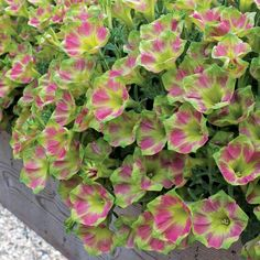 One of the most unusual tricoloured petunias we've seen, this unique bedding plant bears bright pink flowers with yellow centres and edged with a fresh apple green. Description from nowgreen.co.uk. I searched for this on bing.com/images