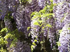 Glicinia: ornamental y resistente