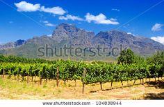 vineyard in province West Cape(South Africa) by InnaFelker, via Shutterstock