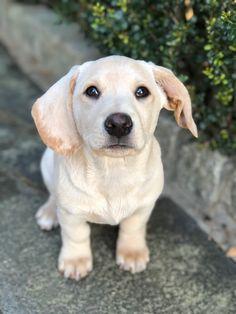 #labrador #dachshund #doxie #doxador #puppy Dachshund, Bath And Body, Labrador Retriever, Studios, Puppies, Dogs, Animals, Labrador Retrievers, Cubs