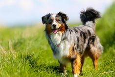 11 Active Facts About the Australian Shepherd | Mental Floss