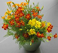 Organic Flower Seeds Online - Greenharvest Marigold 'Gem mix'