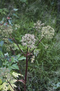 Water Hemlock - cicuta douglasii - Ed Ogle - OutThere Colorado Poisonous Plants, Edible Plants, All Plants, Colorado Wildflowers, Wild Onions, Poison Oak, Alpine Meadow, Wild Strawberries