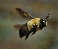How to get rid of those pesky Carpenter Bees!