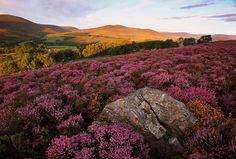 I'd give anything to be sitting on that rock among the wild Heather in the Highlands of Scotland The Places Youll Go, Places To See, Places To Travel, Travel Destinations, Beautiful World, Beautiful Places, Beautiful Beautiful, Absolutely Stunning, Beautiful Flowers