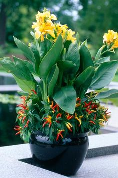 All About Cannas