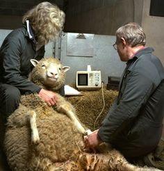 Dolly siendo atendida por especialistas #Edinburgh #Edimburgo #Escocia #Scotland #animales #animals Más información / More info: http://edinatours.com/edinablog/la-oveja-dolly-el-primer-animal-clonado-de-la-historia/