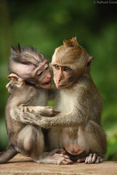 Monkeybrothers - Pinned by Mak Khalaf Bali Indonesia 2013 Animals… Cute Baby Animals, Animals And Pets, Nature Animals, Gorila Albino, Funny Animal Memes, Funny Animals, Magnificent Beasts, Pet Monkey, Tier Fotos
