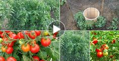 Revealed: the secret to growing juicy, tasty, high-yield tomatoes! How to finally get the tomato harvest of your dreams! Hydroponic Gardening, Hydroponics, Organic Gardening, Container Gardening, Gardening Tips, Growing Tomatoes Indoors, Growing Tomatoes In Containers, Growing Vegetables, Grow Tomatoes