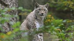 Ein Luchs im Luchsgehege des Nationalpark Harz.-- lynx in the Harz mountain area of Germany