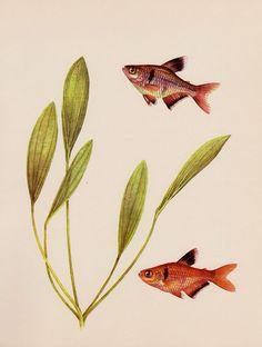 TROPICAL FISH Print Aquarium Fish Gallery Wall Fishing Decor Blood Characin 753