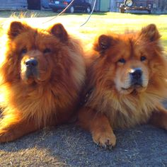 Chow chows - I've been told they aren't very sweet, but they look like lions; therefore, I want one. < lies ! mine was super loveable . I miss my BoBo