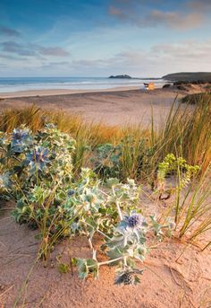 Sea Holly at Godrevy by David Chapman www.davidchapman.org.uk