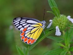 The Common Jezebel (Delias eucharis) is a medium sized pierid butterfly found in many areas of South and Southeast Asia
