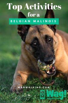 Top Activities for a Belgian Malinois Belgian Malinois Training, Belgian Malinois Puppies, Wag Dog Walking, Belgium Malinois, Belgian Shepherd, German Shepherds, Cute Dogs Breeds, Dog Activities, Baby Puppies