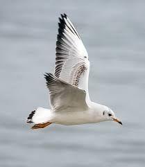 Resultado de imagen para gaviotas volando